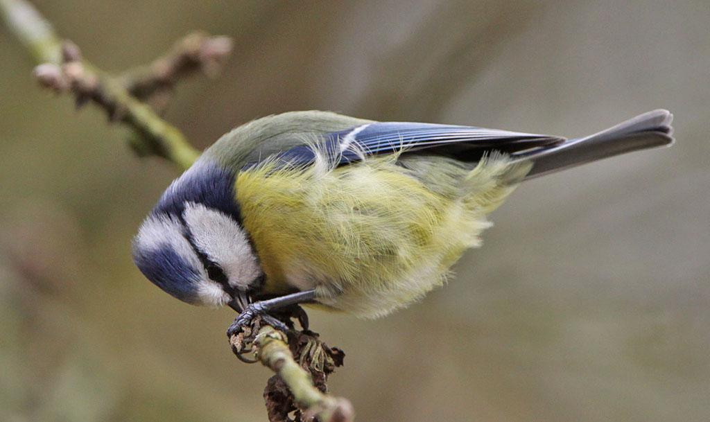 Pimpelmees  -  Blue Tit 28/02/2017. Peutert bladrollerlarve uit haar schuilplaats.