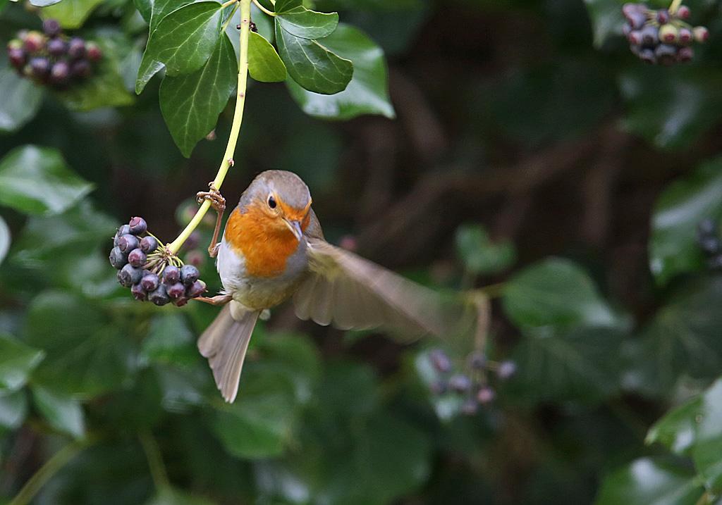 Roodborst, Robin, Erithacus rubecula, foerageren, foraging, klimopbessen, ivy berries