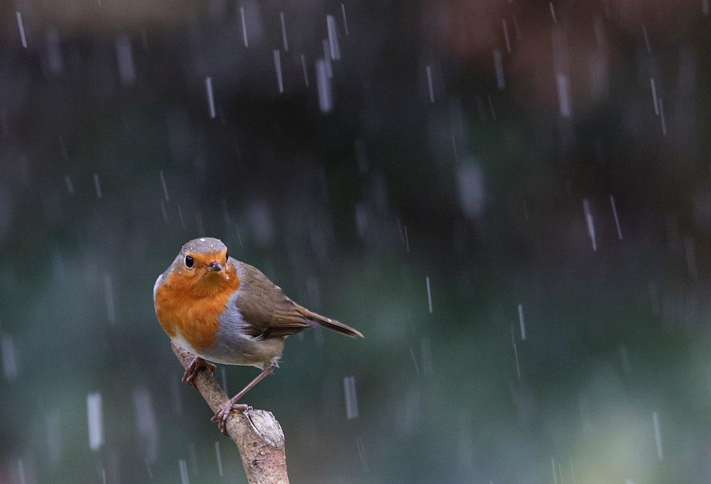 Roodborst  -  Robin 9/02/2018. Winterprik. Dapper vogeltje trotseert lichte blizzard.