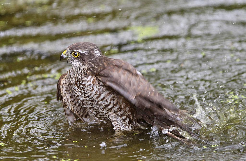 Sperwer, Sparrowhawk, Accipiter nisus, baden, bathing