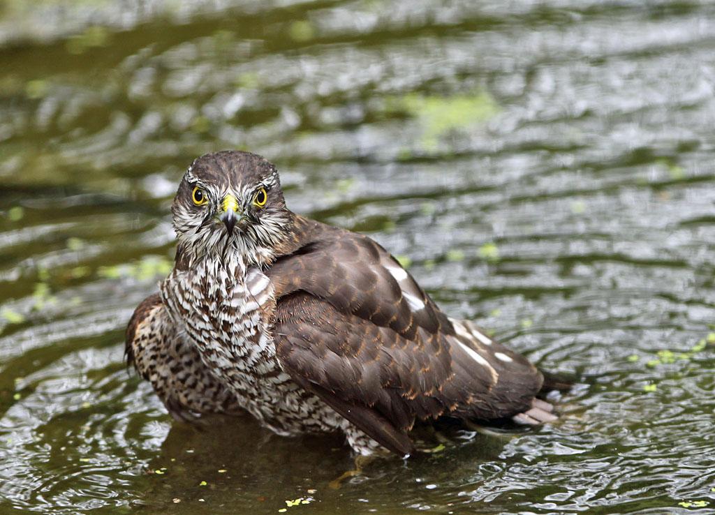Sperwer  - Sparrowhawk 25/08/2013. Badderen.