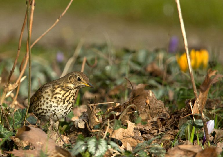 Zanglijster -  Song Thrush 26/02/2018.