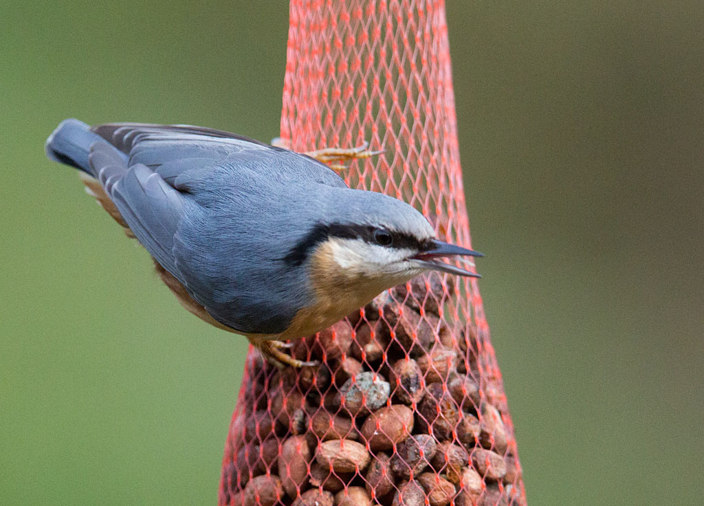Boomklever - Nuthatch 6/02/2018.