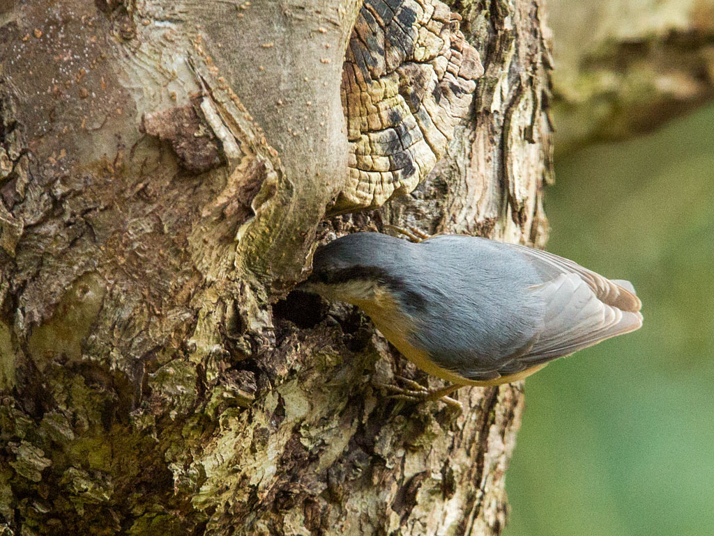 Boomklever - Nuthatch 6/03/2018.