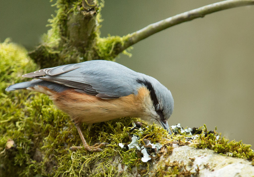 Boomklever, Nuthatch, Sitta europaea, foerageren, foraging