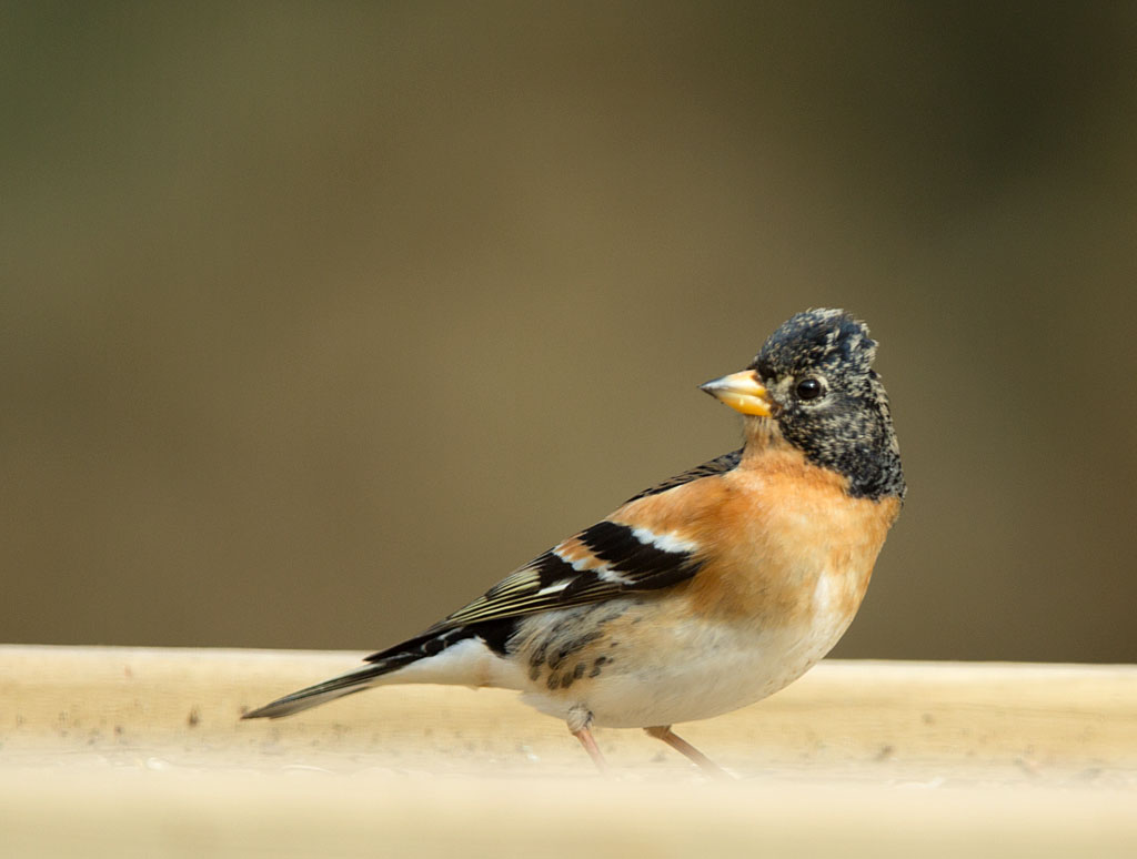 Keep - Brambling 19/0/2018. Man.