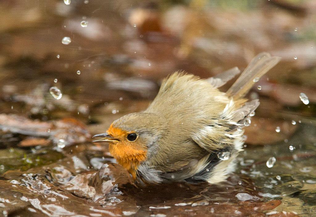 Roodborst, Robin, Erithacus rubecula, baden, bathing
