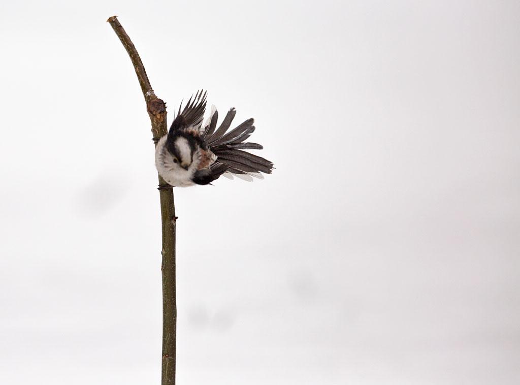 Staartmees  - Long-tailed Tit 3/03/2018. Wind in de zeilen boven ondergesneeuwde tuin.