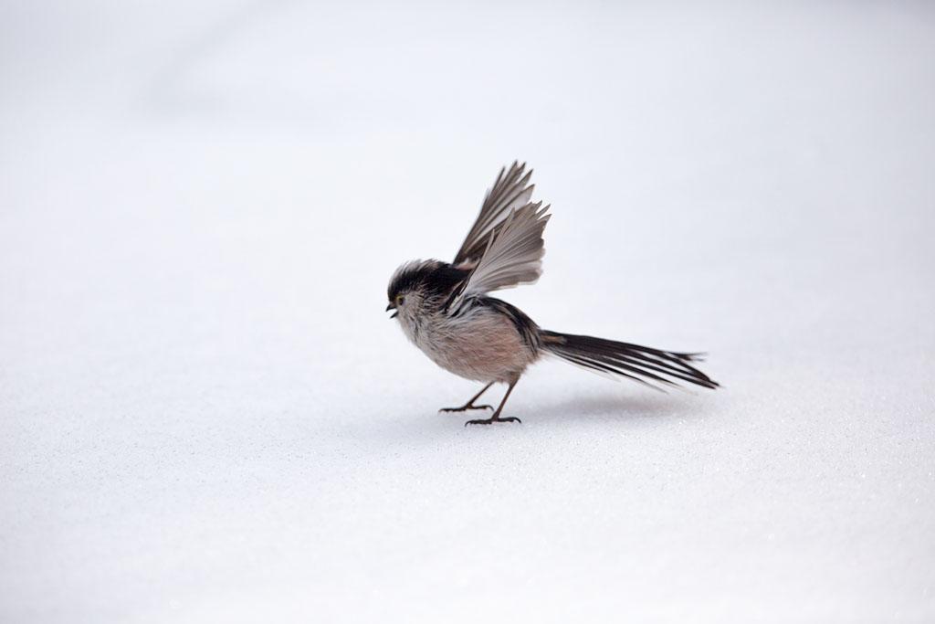 Staartmees  - Long-tailed Tit 3/03/2018. Stomverbaasd over landing op bevroren vijvertje.