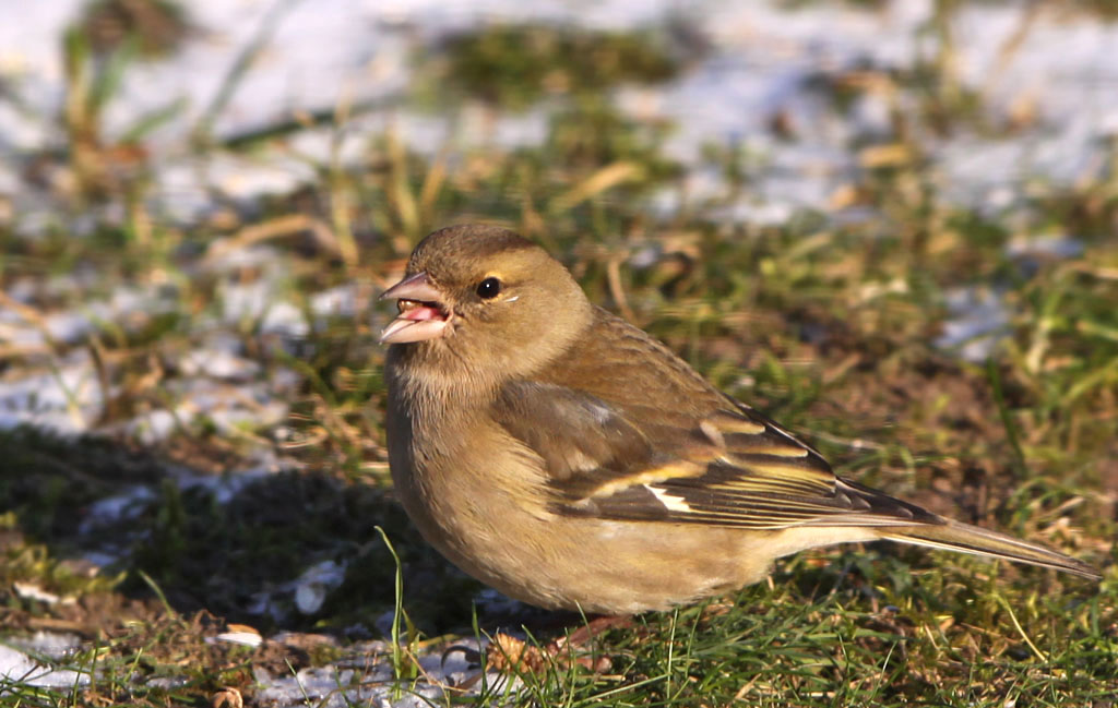 Vink  -  Chaffinch 6/02/2012. Vrouwtje.