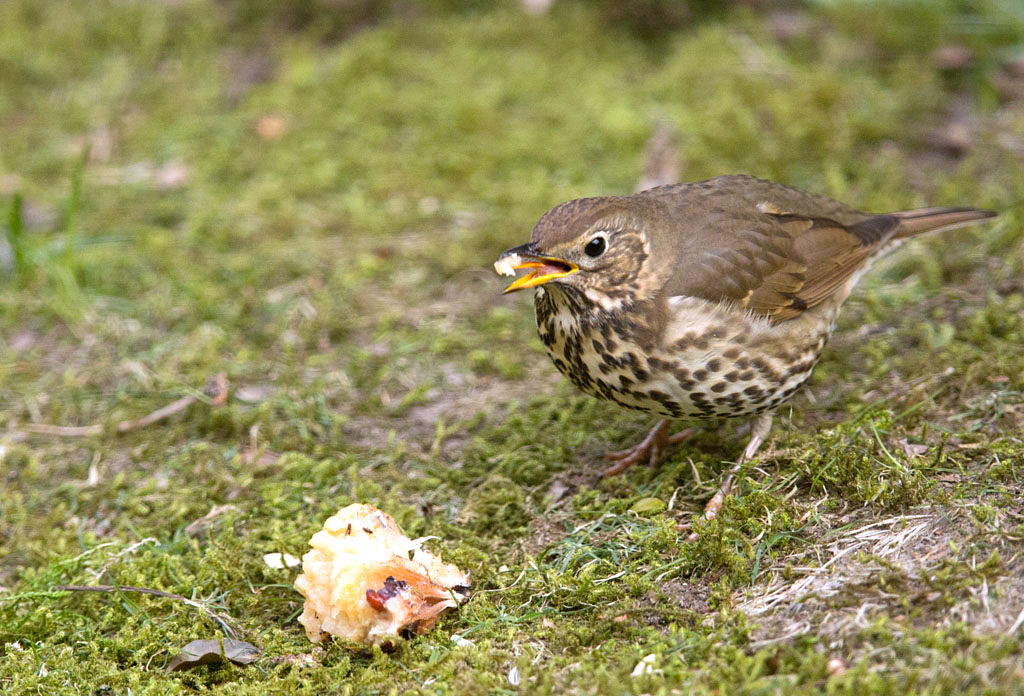 Zanglijster, Song thrush, Turdus philomelos, foerageren, foraging, winter, appel, apple, tuin, garden