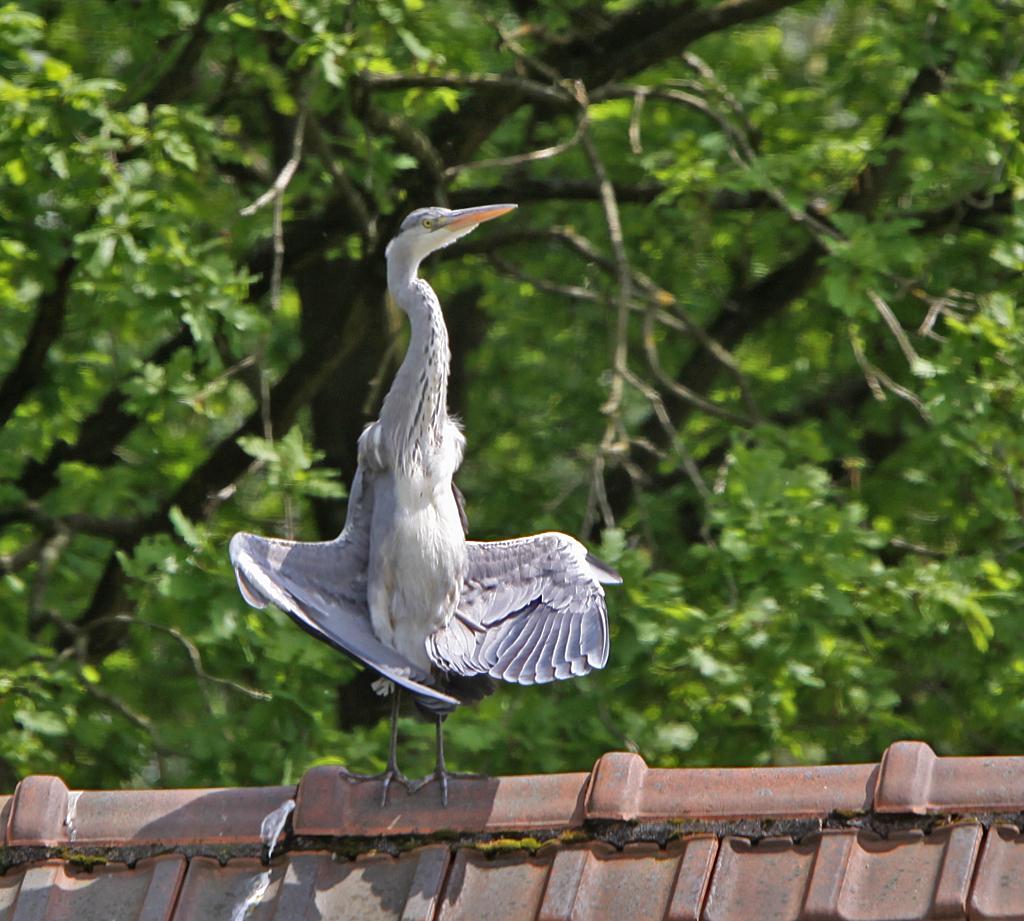Blauwe reiger, Grey Heron, Ardea cinerea, zonnen, sunbathing