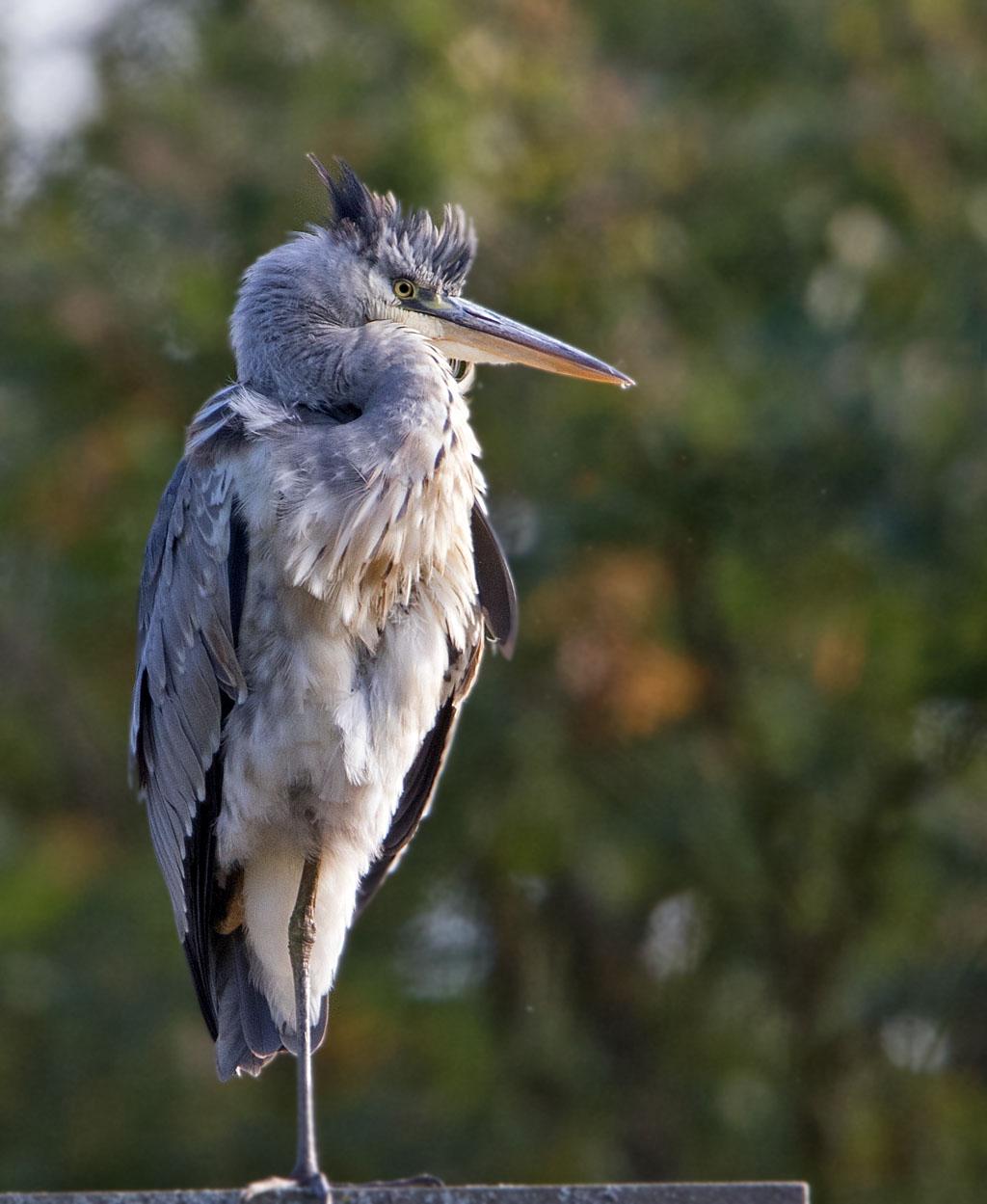 Blauwe reiger, Grey Heron, Ardea cinerea