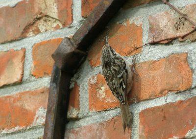 Boomkruiper - Short-toed Treecreeper 22/03/2010. Met nestmateriaal onderweg naar nest onder gevelpannen.