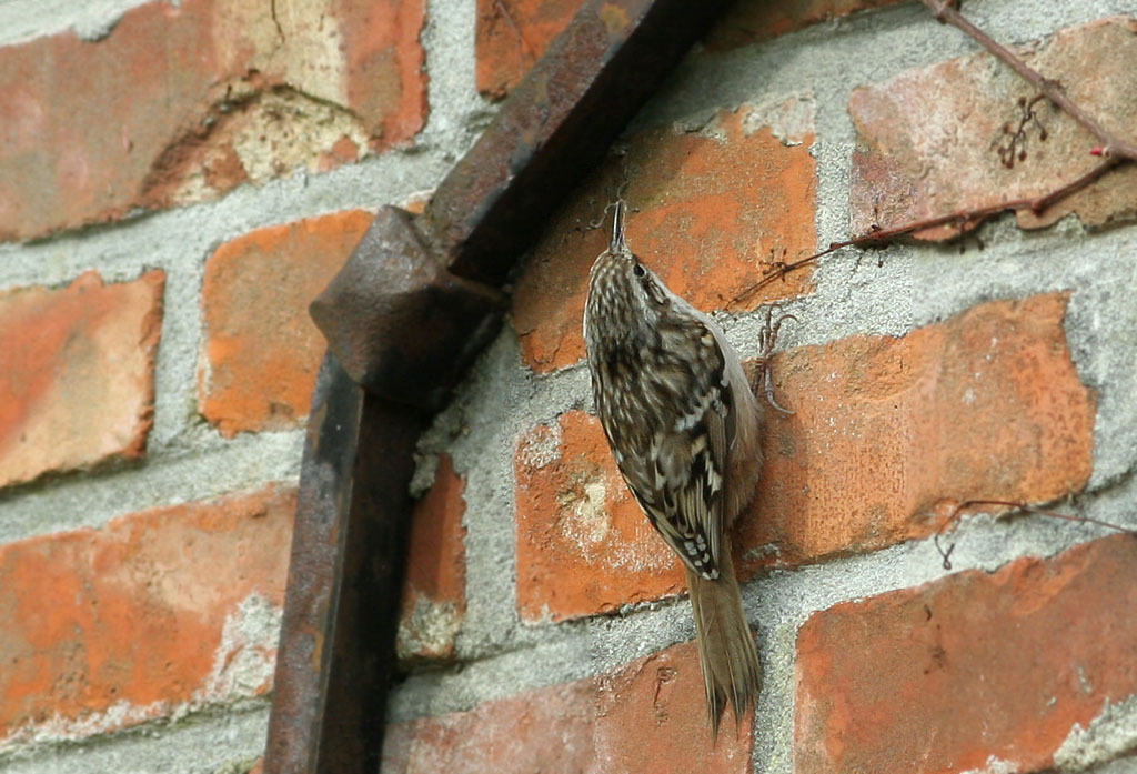 Boomkruiper 22/03/2010. Met nestmateriaal onderweg naar nest onder gevelpannen.
