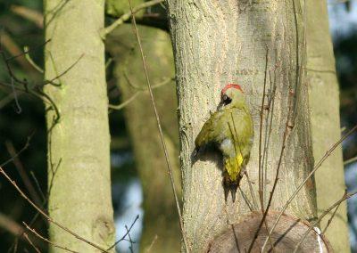Groene specht - Green Woodpecker 8/03/2008. Dame maakt toilet op een zonnige ochtend tegen stam Amerikaanse eik.