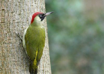 Groene specht - Green Woodpecker 20/02/2008. Tegen stam notelaar.