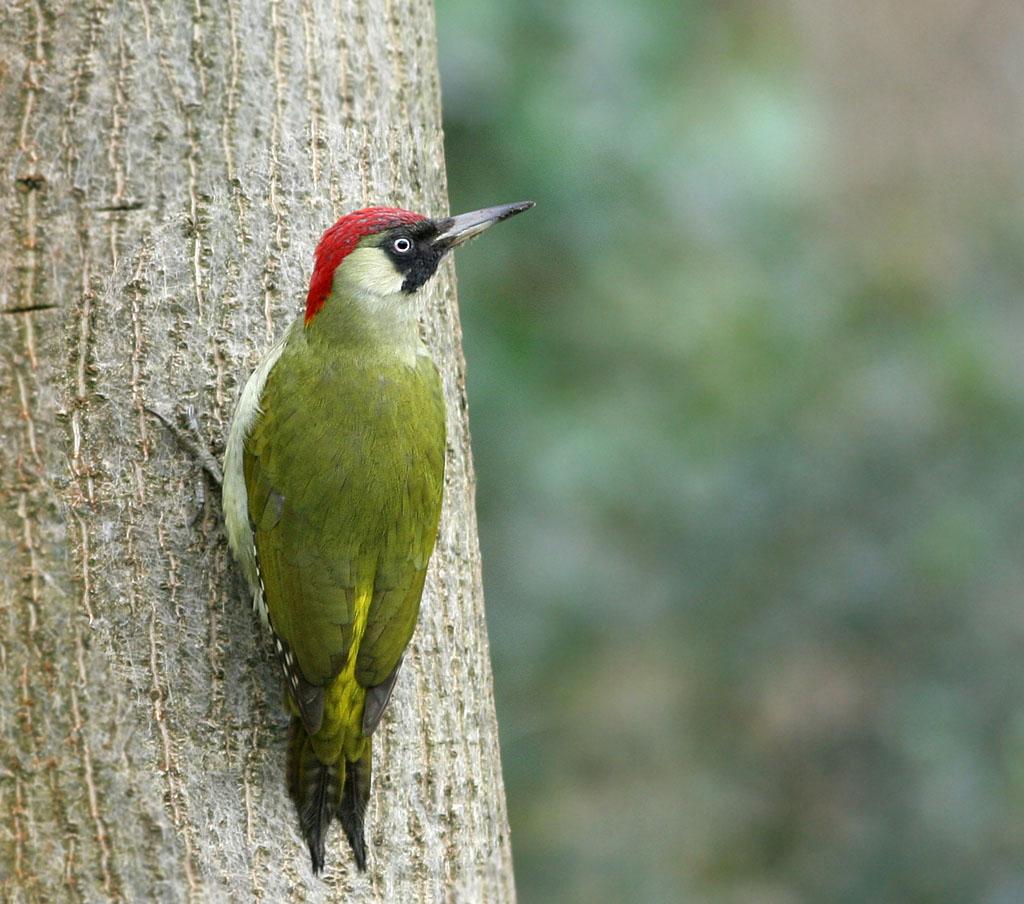 Groene specht, Green woodpecker, Picus viridis, poseren, posing