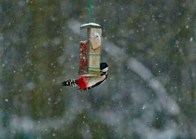 Grote bonte specht, Dendrocopos major, Great Spotted Woodpecker, foerageren, foraging, pinda's, peanuts, sneeuw, snow, winter