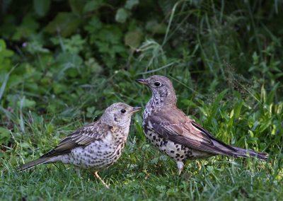 Grote lijster -  Mistle Thrush 15/07/2011. Ouder en jong.