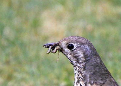 Grote lijster -  Mistle Thrush 12/04/2011. Emelten en co voor jongen.
