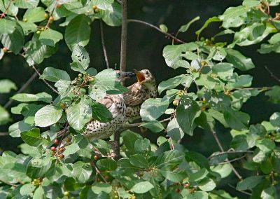 Grote lijster  -  Mistle Thrush  23/07/2006. Sporkebessen voederen aan hongerig jong.