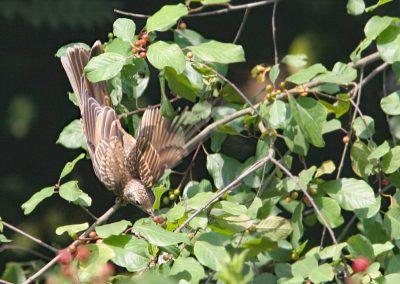 Grote lijster -  Mistle Thrush 23/07/2006. Jonge duikt naar sporkebessen.