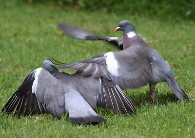 Houtduif - Wood Pigeon 4/06/2011. Slaat zijn concurrent om de oren.