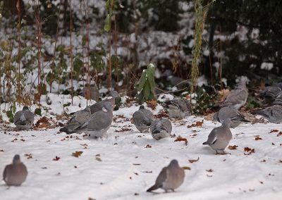 Houtduiven - Wood Pigeon 4/02/2010. In de winter overwinteren vele Houtduiven uit het Noorden bij ons.