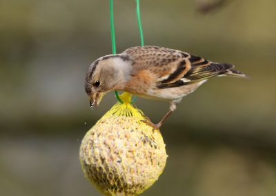 Keep - Brambling 5/02/2014. Acrobaat.