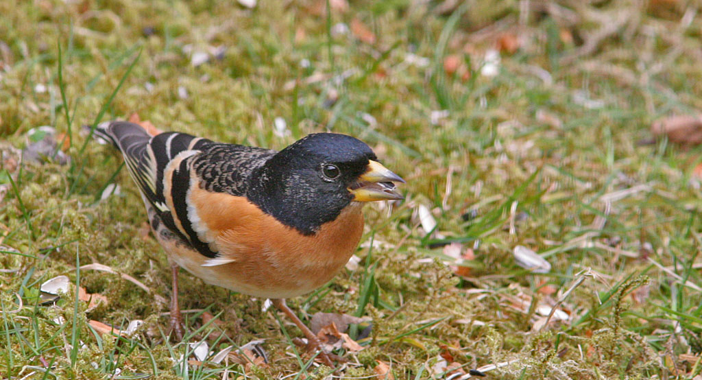 Keep - Brambling 25/03/2006. Man.