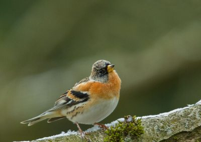 Keep - Brambling 17/03/2018. Man.