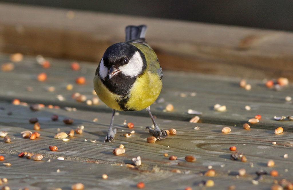 Koolmees, Great Tit, seeds, zaden, feeding table, voedertafel