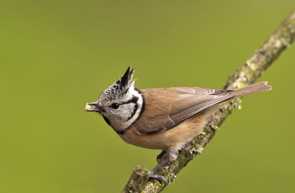 Kuifmees, Crested Tit, foerageren, foraging
