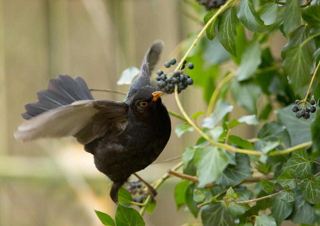 Merel, Blackbird, Turdus merula, klimop, ivy