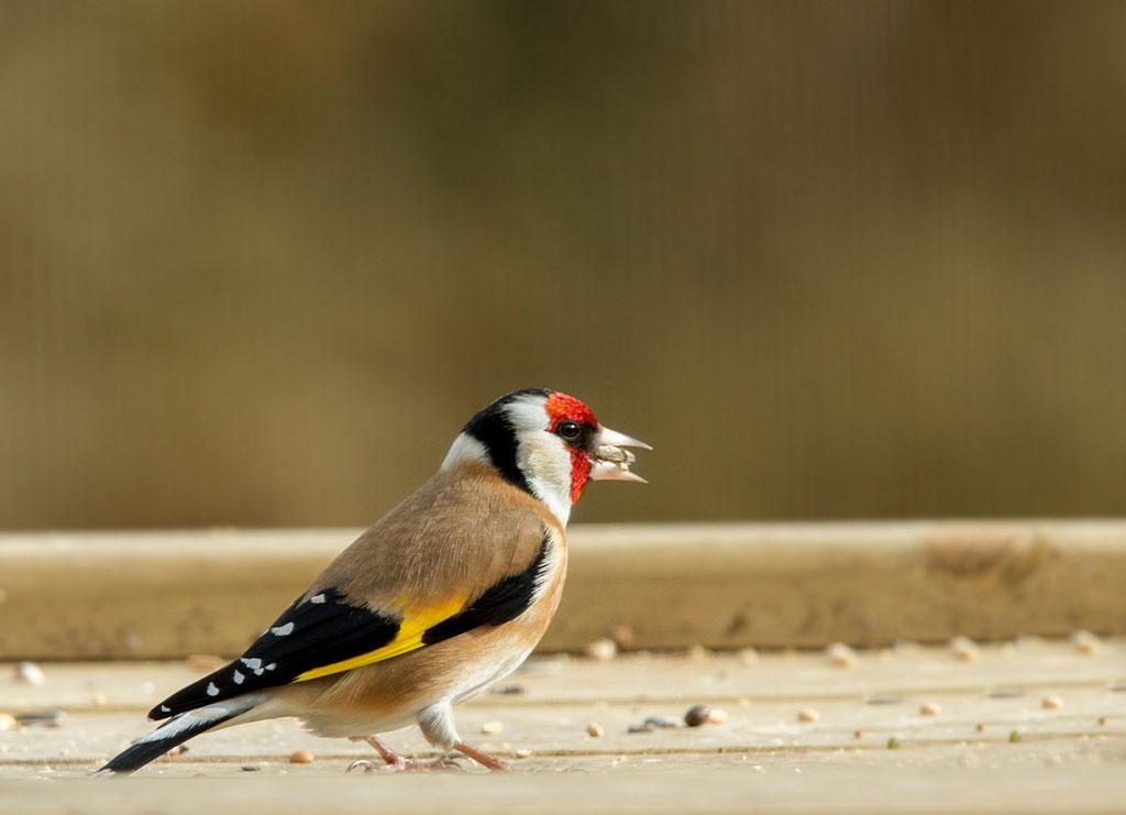 Putter, Goldfinch, voedertafel, feeding table