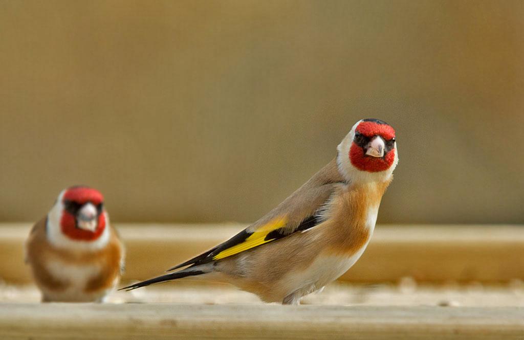 Putter, Goldfinch, Carduelis carduelis