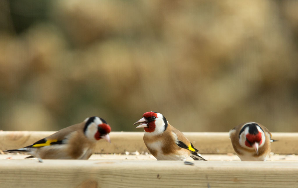 Putter, Goldfinch, Carduelis carduelis, foerageren, foraging, voedertafel, feeding table