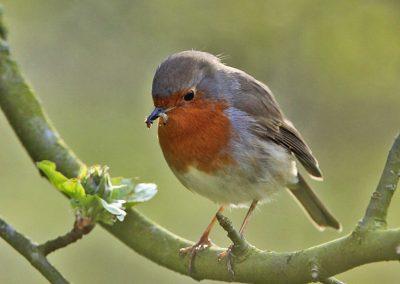 Roodborst, Robin, worm, azen, feeding