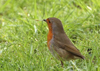 Roodborst, Robin, langpootmug, crane fly, azen, feeding