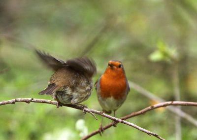 Roodborst 29/04/2016. Voorbeeldig mannetje stop vrouwtje voedsel toe tijdens een broedpauze. Broedpauzes van ong. 15 min om het uur. Vrouwtje trillend met vleugels om hem tot enige spoed aan te zetten.