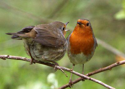 Roodborst  -  Robin 29/04/2016. Voorbeeldig mannetje stop vrouwtje voedsel toe tijdens een broedpauze. Broedpauzes van ong. 15 min om het uur.