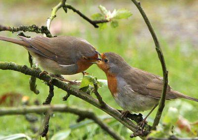 Roodborst, Robin, Erithacus rubecula, azen, feeding, male, female