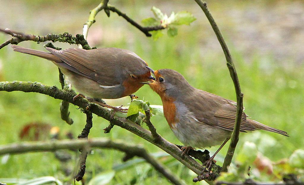 Roodborst  -  Robin 30/04/2016. Voorbeeldig mannetje stop vrouwtje voedsel toe tijdens een broedpauze. Broedpauzes van ong. 15 min om het uur.