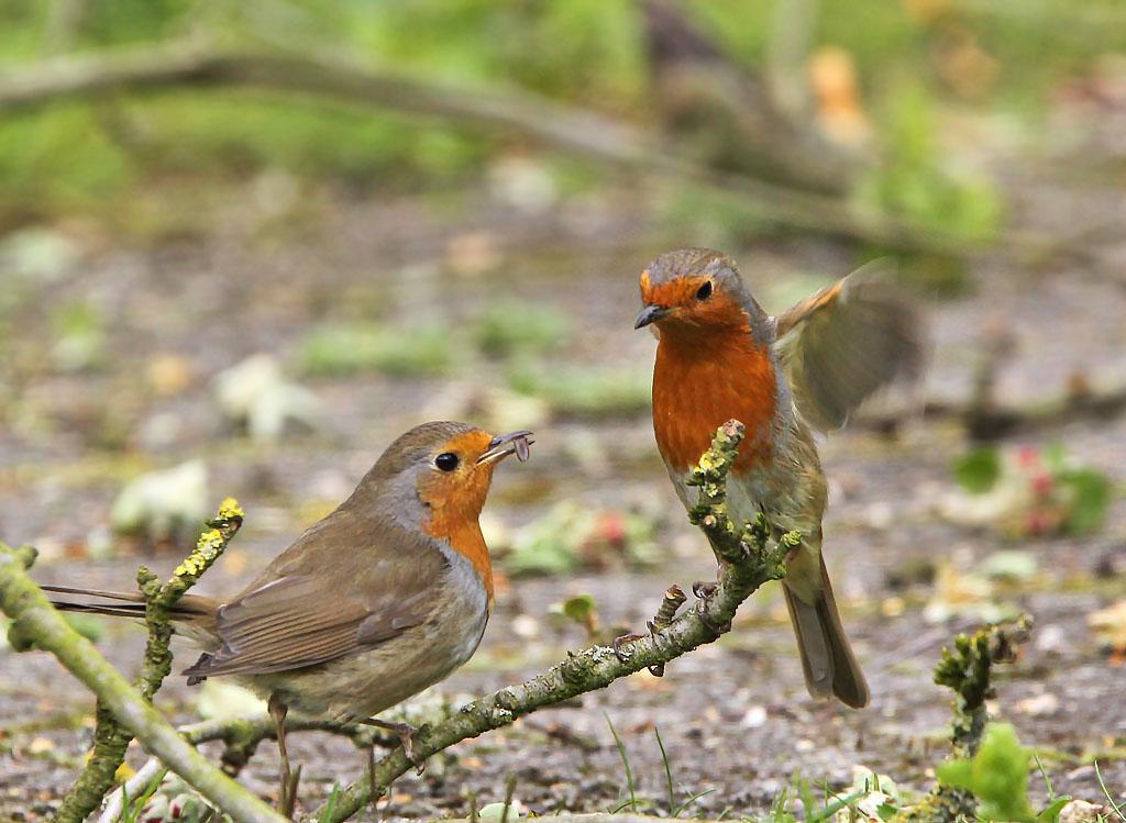 Roodborst 30/04/2016. Voorbeeldig mannetje stop vrouwtje voedsel toe tijdens een broedpauze. Broedpauzes van ong. 15 min om het uur. Vrouwtje van ongeduld trillend met vleugels.