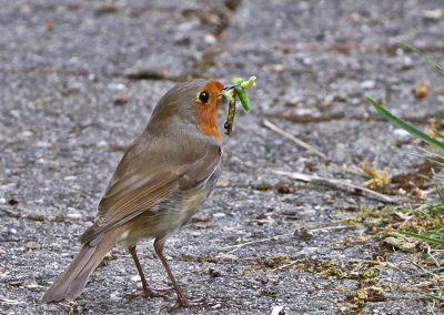 Roodborst, Robin, worms, azen, feeding