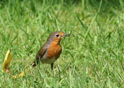 Roodborst, Robin, junikever, summer chafer, azen, feeding