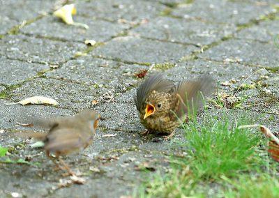 Roodborst, Robin, Erithacus rubecula, azen, feeding