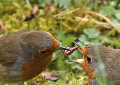 Roodborst, Robin, regenwormen, earthworms, azen, feeding,, male, female