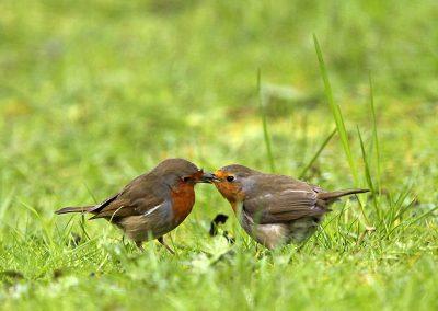 Roodborst  -  Robin 26/04/2016. Voorbeeldig mannetje stop vrouwtje voedsel toe tijdens een broedpauze. Broedpauzes van ong. 15 min om het uur.
